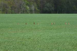 Hares in the field by Chambers Woods as seen from Woodland View at Greenfield Farm B&B