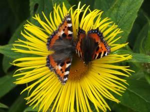 Butterflies on the flowers in the garden of Greenfield Farm B&B